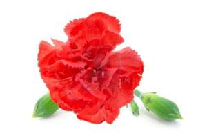 garofano-rosso-su-sfondo-bianco
