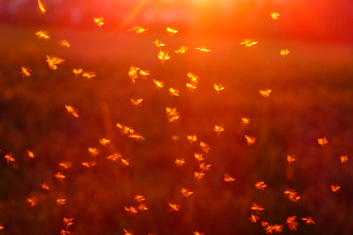 insetti sciame