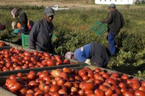 lavoratori stranieri pomodori